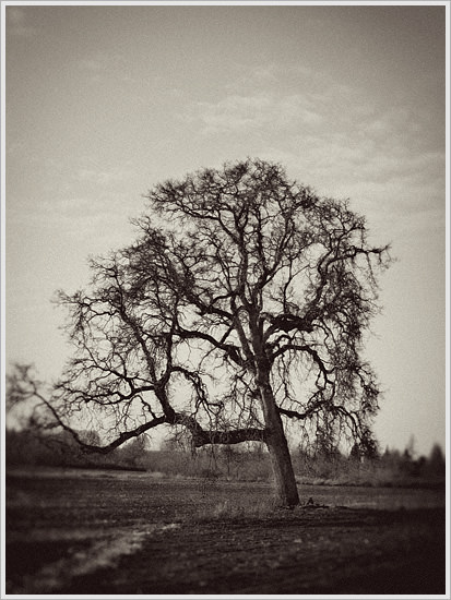 Lone Oak Tree on the Bowman Farm in Oregon