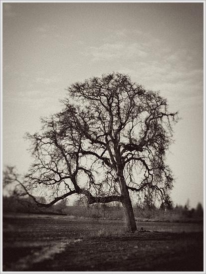 Lone Oak Tree on the Bowman Farm in Oregon