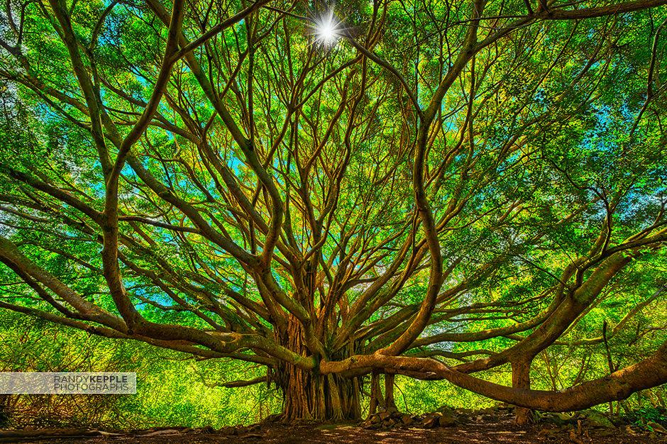 Maui Hawaii Banyan Tree by Randy Kepple